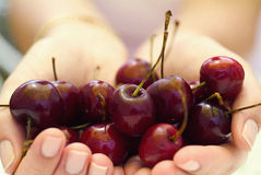 Handful of cherries Royalty Free Stock Photo