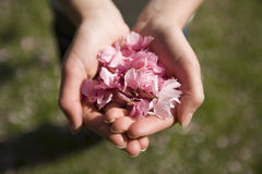 Handful cherry blossom Stock Image
