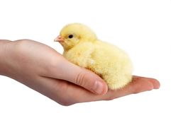 Handful of chick Stock Photo