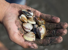 Handful of Clams Stock Image