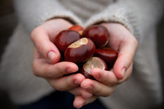 Handful of conkers Stock Photos