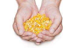 Handful of corn Stock Photography