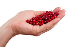 Handful of cowberries Stock Image