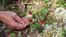 Handful of cowberry stock video