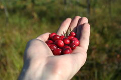 Handful of a cranberry royalty free stock photo