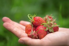 A handful of delicious ripe strawberries Royalty Free Stock Image