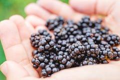 Handful of fresh blackberries in the girl`s hands stock photos