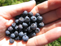 Handful of fresh blueberries Stock Photography