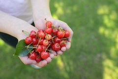 Handful of cherries in summer garden Stock Photo