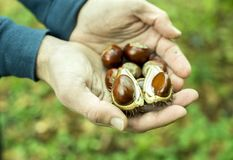Handful of fresh chestnuts royalty free stock image