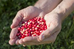 Handful of cranberries Royalty Free Stock Image