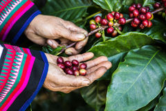 Handful of fresh organic coffee beans. Coffee beans ripening on tree in North of thailand Royalty Free Stock Image