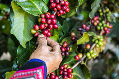 Handful of fresh organic coffee beans. Royalty Free Stock Photography