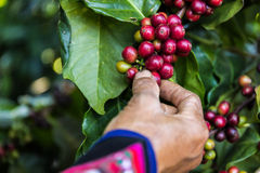 Handful of fresh organic coffee beans. Stock Images