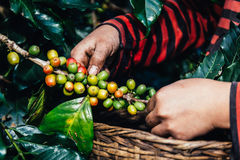 Handful of fresh organic coffee beans. Stock Photos