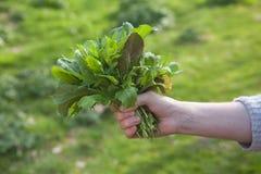 Handful of fresh salad greens Royalty Free Stock Photo