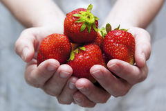 A handful of fresh strawberries Royalty Free Stock Photo