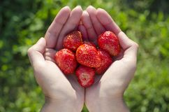 Fresh strawberries in girl`s hands Royalty Free Stock Photo