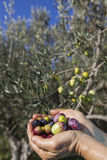 Handful of freshly-harvested olives Stock Image
