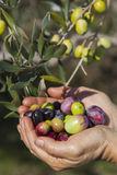 Handful of freshly-harvested olives Royalty Free Stock Photos