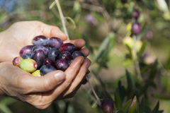 Handful of freshly-harvested olives Royalty Free Stock Photography