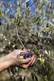 Handful of freshly-harvested olives Stock Photo