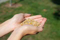 Handful of grain. Woman hands in the form of the cup hold birds grains and seeds. DOF stock images