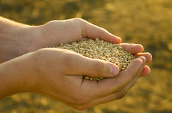A handful of grains of wheat in the hands Stock Image