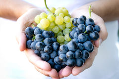 Handful of grapes. Handful of blue and green grapes royalty free stock photo