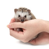 Handful of hedgehog Royalty Free Stock Photography