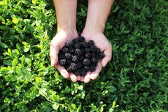 A handful of juicy blackberries in the hands on the background of green grass royalty free stock photography