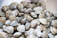 handful of & x22;lupine& x22; type clams ready to be cooked. fresh raw cla royalty free stock image