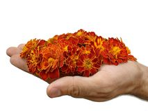 A handful of marigold Royalty Free Stock Photography