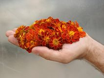 A handful of marigold Royalty Free Stock Photos