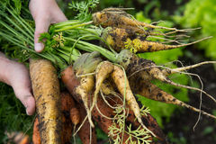 A handful of odd shaped orange and yellow carrots Stock Image