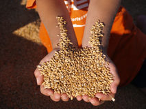 Free Handful Of Gold Harvest Royalty Free Stock Photos - 5770008