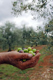 Handful of olives Stock Photos