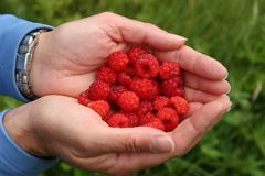 Handful of raspberries. A woman holding a red berries in hands Royalty Free Stock Images