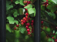 A handful of red currants Royalty Free Stock Photography