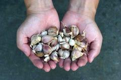 Handful of red garlic Stock Photo