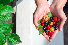 A handful of red ripe in woman hands. Summer wild berries in hands - raspberry, black and red currant. Top view Stock Photo