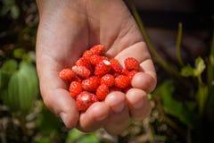Handful of red wild stawberries Stock Photo