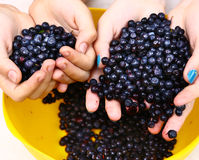Handful ripe bilberries close up photo Stock Images