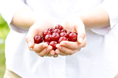 Handful of ripe cherries. Closeup of hands full of ripe, freshly picked red cherries Stock Photo
