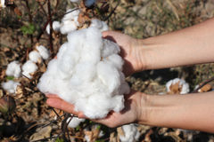 A handful of ripe cotton in the palms in the background of plant Stock Photos