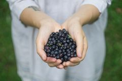 A handful of ripe forest blueberries bilberry, whortleberry, blaeberry, huckleberry in the hands of a young woman or girl stock photo