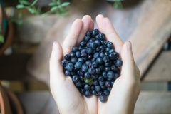 A handful of ripe forest blueberries bilberry, whortleberry, blaeberry, huckleberry in the hands of a young woman or girl stock image