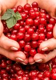 Handful of ripe red currant Stock Images