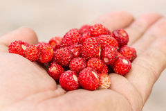 Handful of ripe strawberry Royalty Free Stock Image