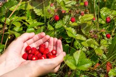 A handful of ripe wild strawberries in the hands Stock Photos